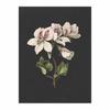Pelargonium album bicolor