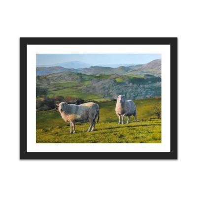 Sheep at Rhug (12×16)